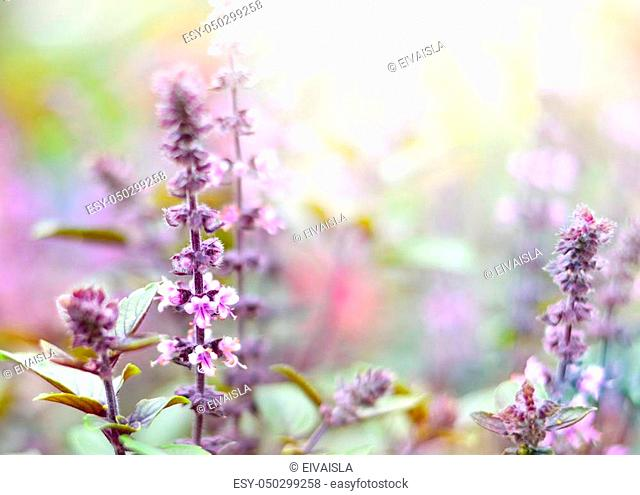 Purple dead nettles in the sun. Wildflowers with copy space and smooth light. Selective focus on the foreground