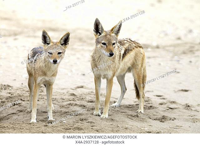 A pair of black-backed jackals (Canis mesomelas), Walvis Bay, Namibia