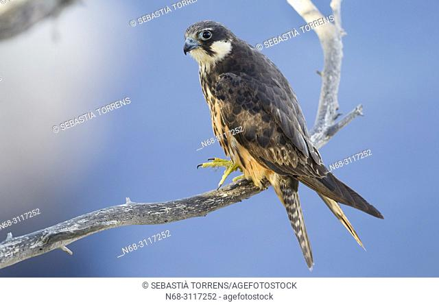 Eleonora's falcon, Falco eleonorae on a branch and the Mediterranean Sea as a background, Majorca, Balearic Islands, Spain