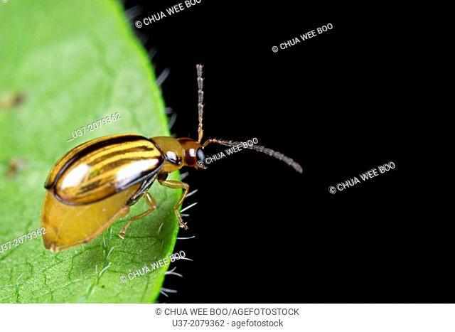 Beetle. Image taken at Kampung Skudup, Sarawak, Malaysia