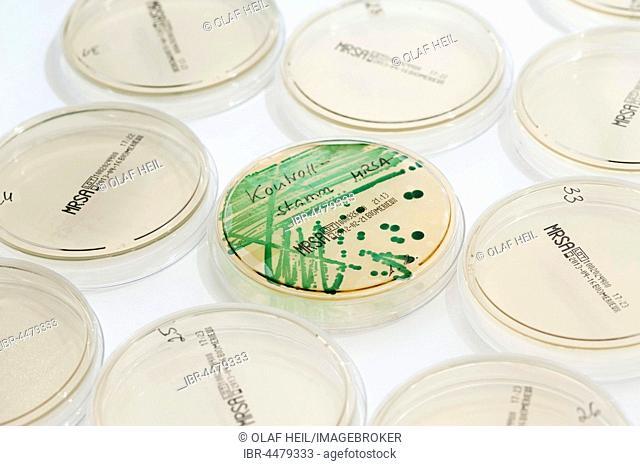 Microbiological diagnosis of MRSA bacteria (methicillin-resistant staphylococcus aureus), Petri dish with MRSA control strain, clinical laboratory