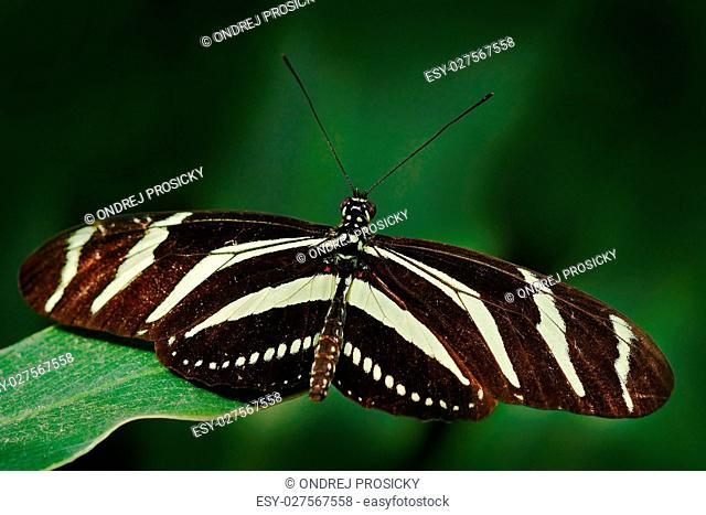 Beautiful butterfly Zebra Longwing, Heliconius charitonius