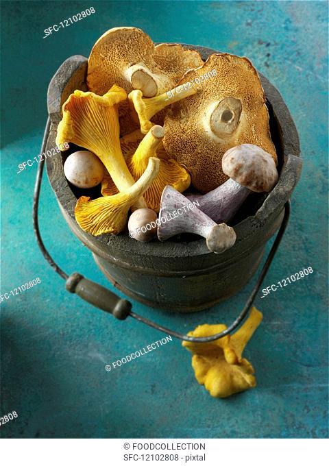 Freshly picked chanterelle mushrooms, hedgehog mushrooms and Pied Bleu mushrooms in a wooden bucket