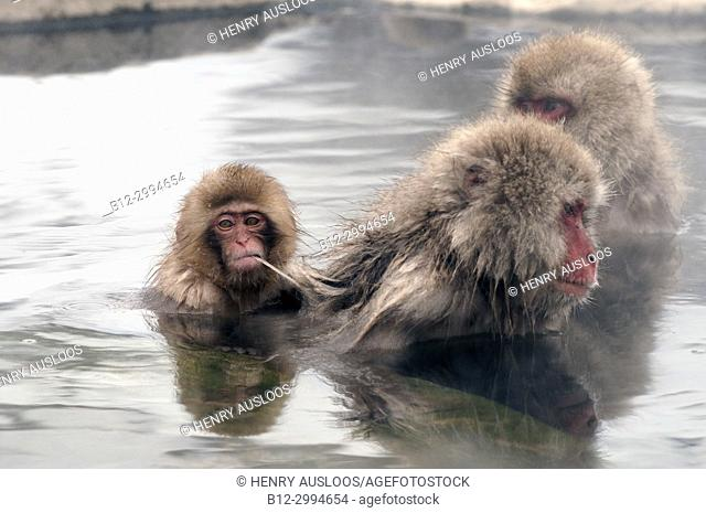 Japanese macaque or snow japanese monkey (Macaca fuscata) baby in onsen, Japan