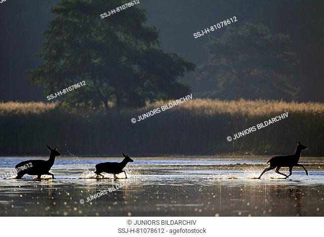 Red Deer (Cervus elaphus). Hind with two calves walking in a shallow pond in early morning light. Saxony, Germany