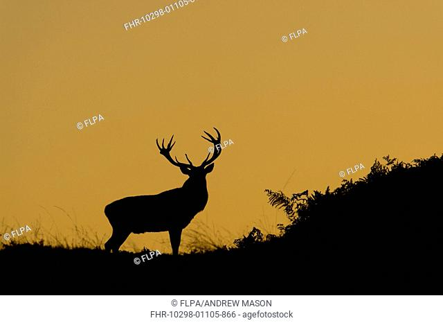 Red Deer (Cervus elaphus) mature stag, silhouetted at dusk, during rutting season, Bradgate Park, Leicestershire, England, October
