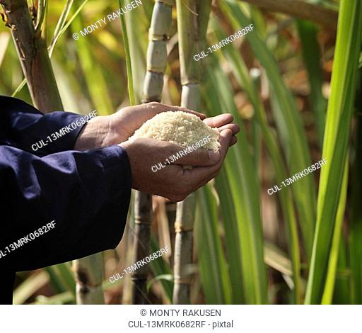 Hand With Processed Sugar Cane In Field