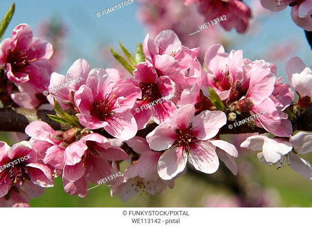 Pink apricot blossom on the tree, Koszeg, Hungary