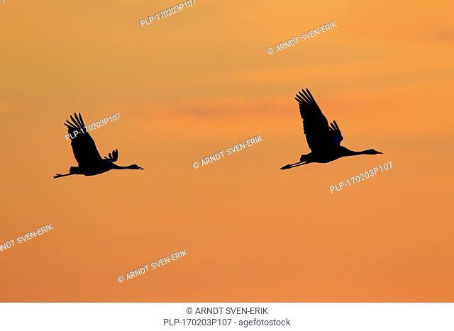 Two common cranes / Eurasian Cranes (Grus grus) in flight silhouetted against sunrise / sunset