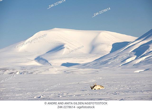 Reindeer (Rangifer tarandus) lying in front of snowy mountain, van Mijenfjorden, Spitsbergen (Svalbard) Norway