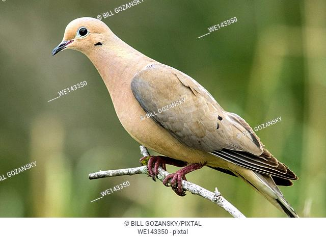 Mourning Dove - Camp Lula Sams - Brownsville, Texas USA