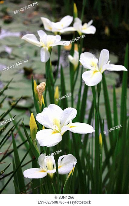 Ginger lily,beautiful white with yellow flowers blooming in the pond in spring,butterfly lily,garland flower