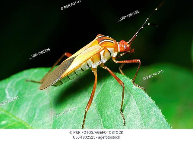 Seed bug  Lygaeidae, Heteroptera, Hemiptera  2012