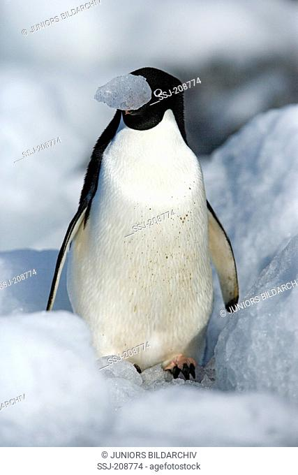 Adelie Penguin (Pygoscelis adeliae). Adult standing on ice, with a piece of ice in its bill. Antarctica. No exclusive sales !