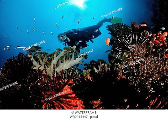 Diver over Coral Reef, Komodo, Indio-Pacific, Indonesia