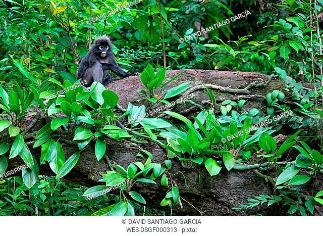 Malaysia, Perhentian Island, dusky leaf monkey