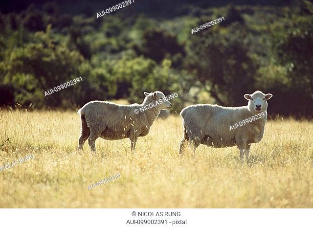 New Zealand - South Island - Sheep