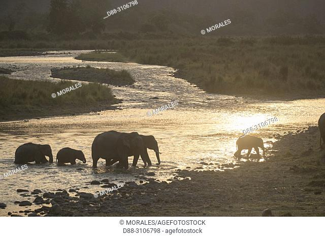 Asia, India, Uttarakhand, Jim Corbett National Park, Asian or Asiatic elephant (Elephas maximus), drinking and crossing a river