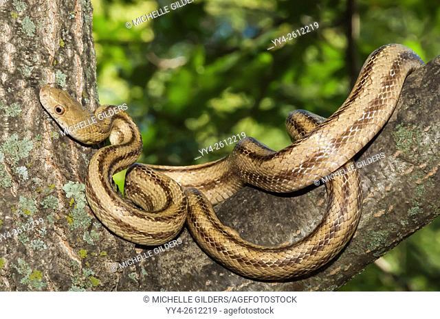 Yellow rat snake, Elaphe obsoleta quadrivittata, native to eastern United States