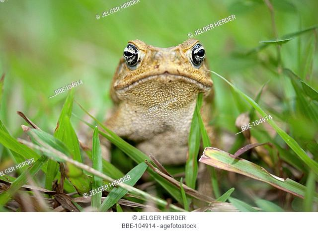 Cane toad in grass