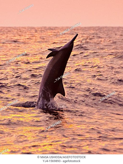 Hawaiian spinner dolphin, Stenella longirostris longirostris, jumping at sunset off Kona Coast, Big Island, Hawaii, USA, Pacific Ocean