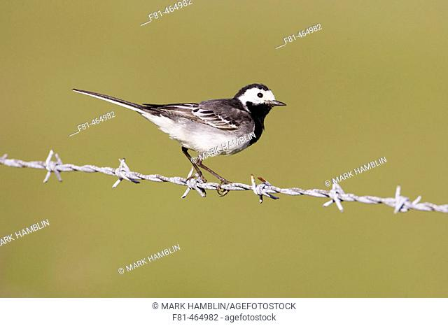 Pied Wagtail (Motacilla alba yarrellii) adult perched on barbed wire. Scotland. UK