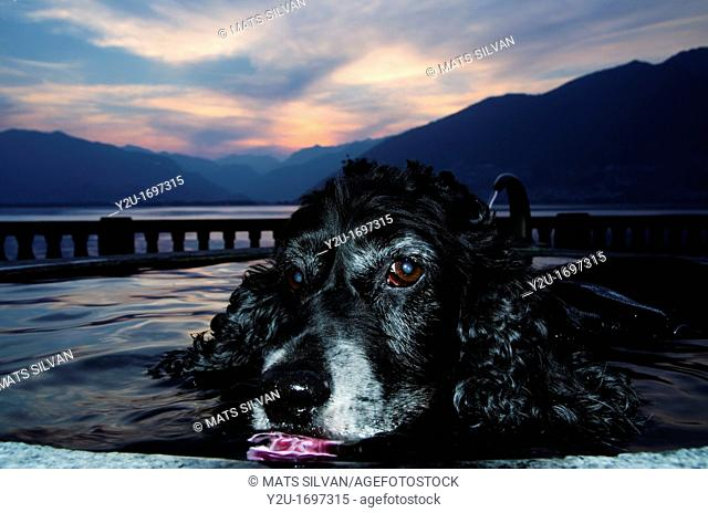 Cocker spaniel dog in a water fountain with orange sky and mountains