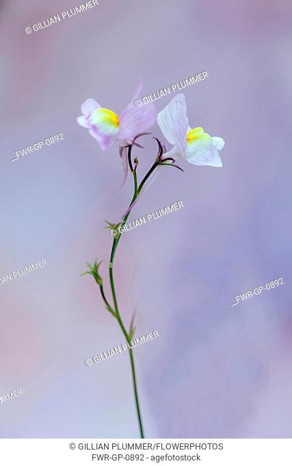 Moroccan toadflax, Linaria maroccanan, Side view of two delicate pink and yellow flowers on a thin stem against dappled pastel background