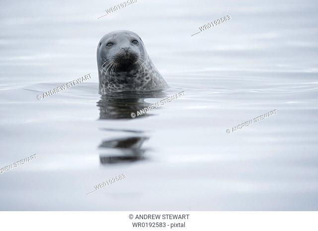 Harbour Seal Phoca vitulina Rookery Svalbard, Norway