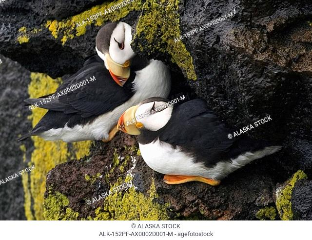 Horned Puffin on Rocks Saint Paul Is WE AK Summer Pribolof Islands