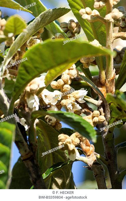 Loquat, Japanese plum (Eriobotrya japonica), blooming branch