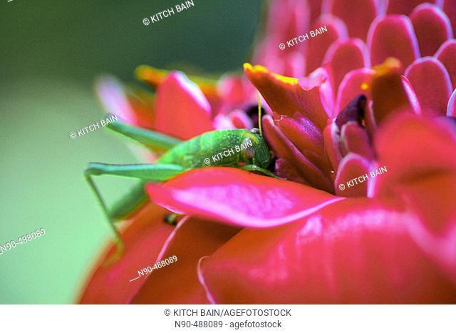 Cricket on ginger flower