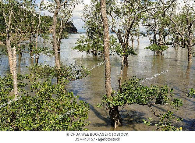 Mangrove trees at Bako National Park, Sarawak, Malasya