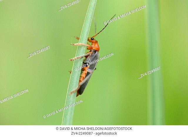 Close-up of a Soldier beetle (Cantharis fusca) on a grass stalk in a meadow