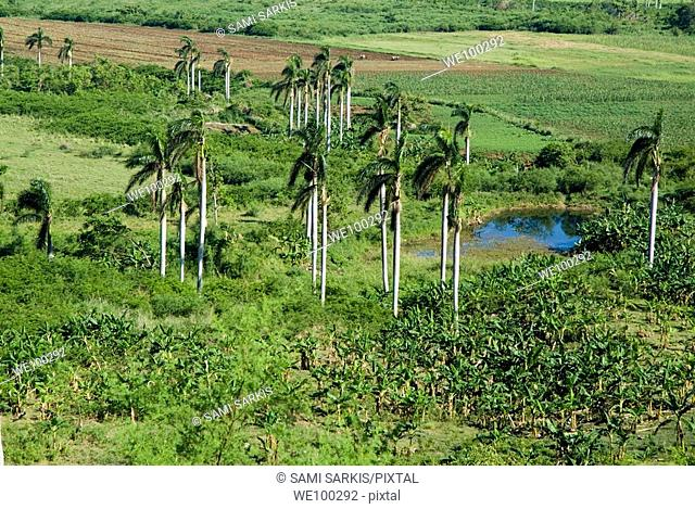 Coconut trees surrounded by lush countryside in the Valle de los Ingenios, Cuba