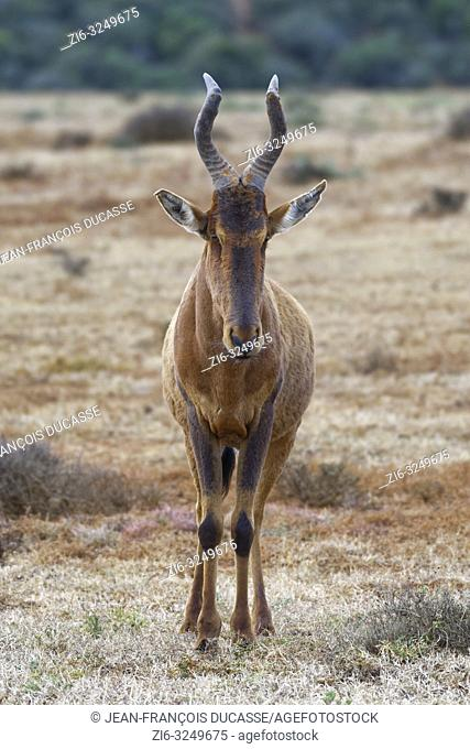 Red hartebeest (Alcelaphus buselaphus caama), adult standing in the dry grassland, alert, Addo Elephant National Park, Eastern Cape, South Africa, Africa