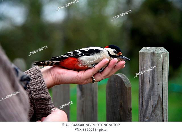 France,Wounded great spotted woodpecker cooling down in a human hand