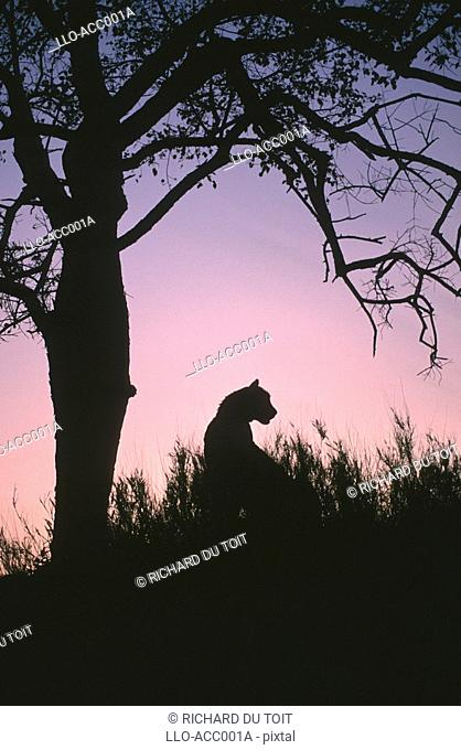 Silhouette of a Cheetah Acinonyx jubatus Against a Tree at Dusk  Sabi Sands Private Game Reserve, Mpumalanga Province, South Africa