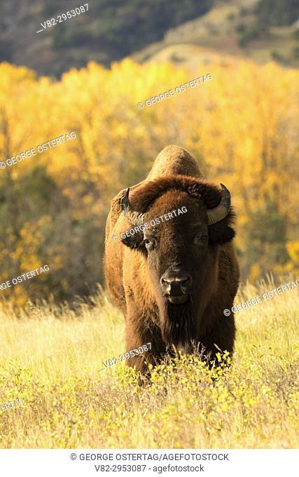 Bison, Theodore Roosevelt National Park-North Unit, North Dakota