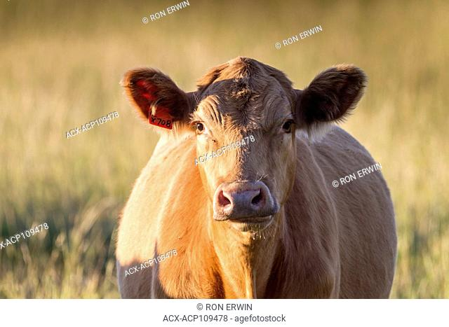 Red Angus, charolais cross cow, Barrie Island, Ontario, Canada