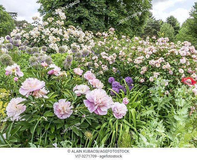 Paeonia lactiflora 'Opal Hamilton' , Rosa 'Penelope', Allium aflatunense