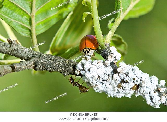 Three species are united in a mutalistic relationship. A lady beetle consumes a few individuals from a mass of honeydew-producing aphids which are tended by an...