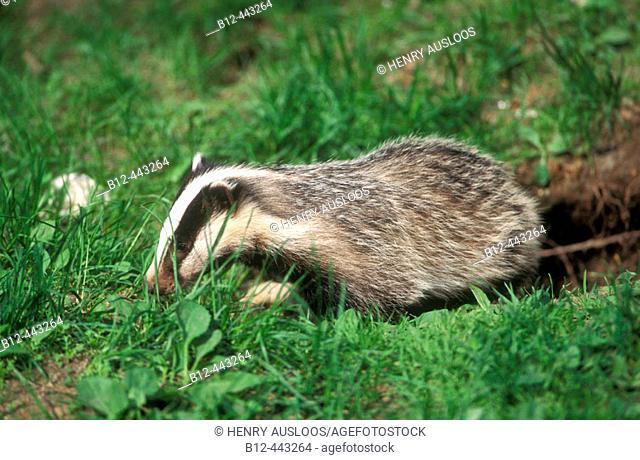 Badger. (Meles meles)
