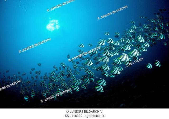 Longfin bannerfish and scuba diver, Heniochus acuminiatus