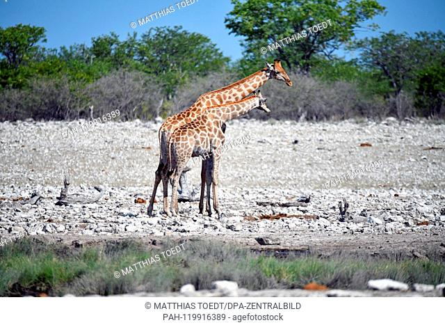 Giraffe cow with a half-grown calf at a waterhole in the Etosha National Park, taken on 05.03.2019. The Giraffe (giraffa) belongs to the pairhorses and with a...