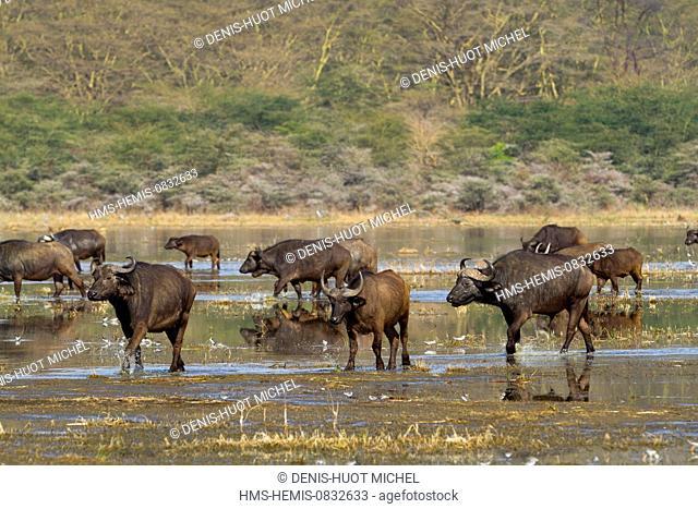 Kenya, Rift Valley, Nakuru National Park, buffaloes (Syncerus caffer), group walking along the Lake