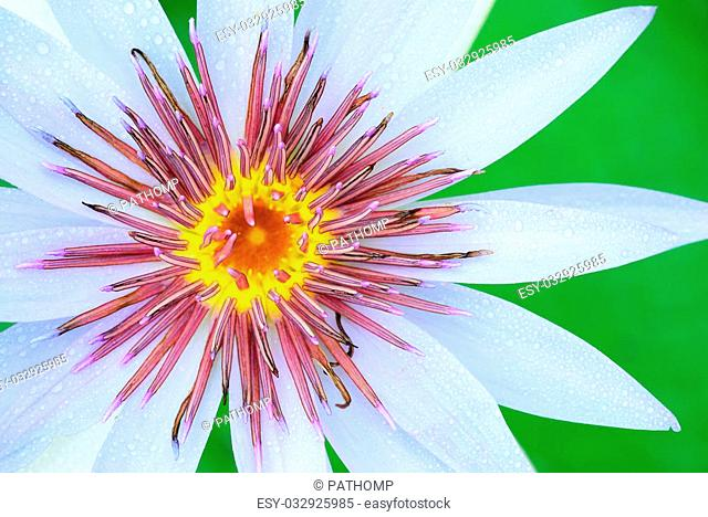 The water lily pollen use for background