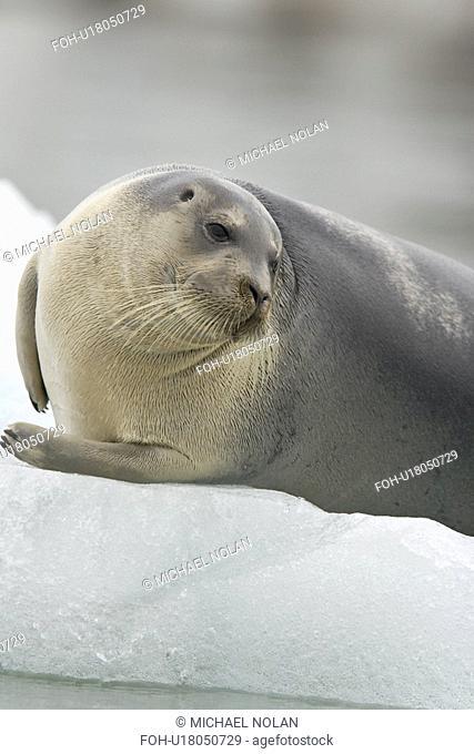 Bearded seal Erignathus barbatus swimming amongst the ice near Storpollen Glacier in the Svalbard Archipelago, Barents Sea, Norway