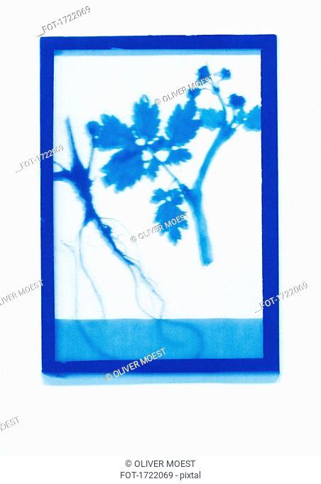 Inverse photogenic drawing of English oak plant specimen