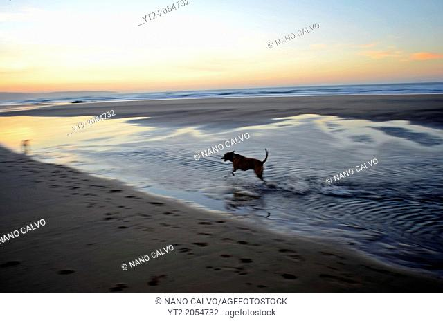 Dogs running on the beach at sunset